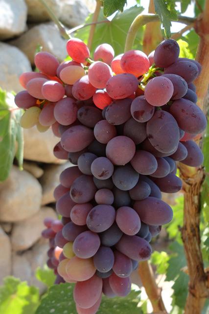 Asociados Oleovitis en Europa. Aceite de granilla de uva.